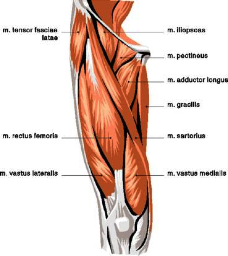 Anatomy of the Quadriceps